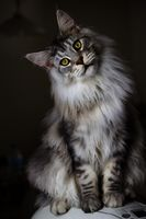 Maine-coon-cat-photo
